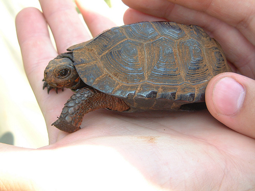 The bog turtle is the smallest turtle in North Ameica