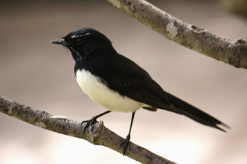 3661892825 7b035fde33 Willie Wagtail
