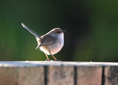 3915815836 db4c1ef67a Superb Fairywren