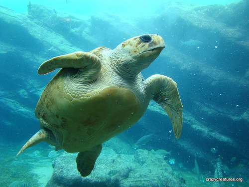 The loggerhead turtle is the largest hard shelled turtle in the world