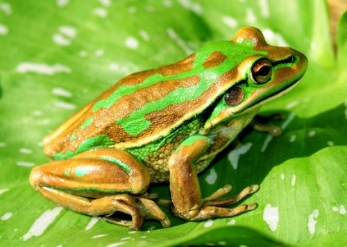 The Green and Golden Bell Frog