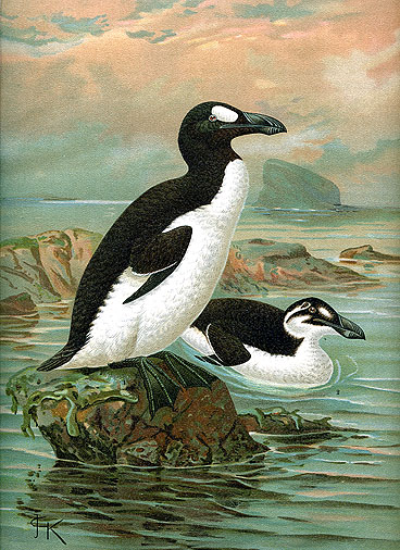 A pair of Great Auks