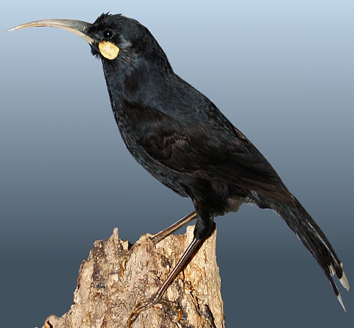 Mounted female Huia from the Museum Wiesbaden, Germany