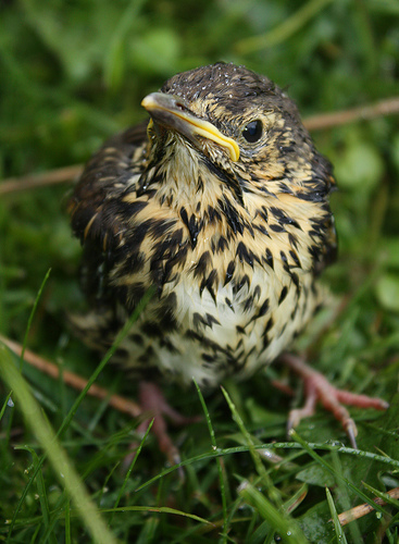 The Song Thrush has a beautiful call