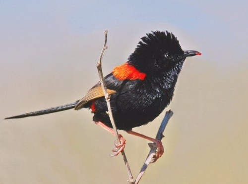 A Red-backed Fairywren in Noosa, Queensland