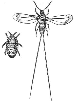 "A drawing of the Cochineal insect from the ""The Houshold Cyclopedia"", printed in 1881"