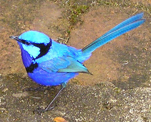 The nominate species of the Splendid Fairywren