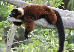 A red ruffed lemur lazing around