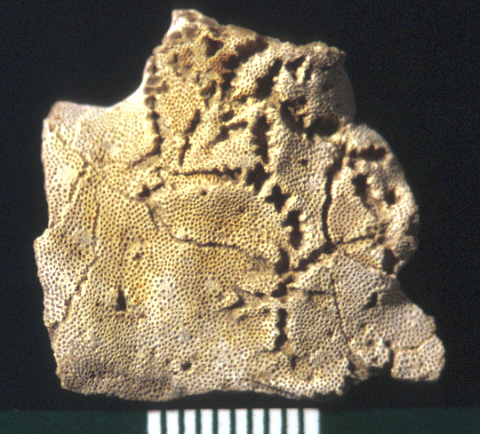 The star-shaped holes (Catellocaula vallata) in this Upper Ordovician bryozoan represent a tunicate preserved by bioimmuration in the bryozoan skeleton.