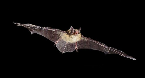 Could the diet of bats aid forensic science?
