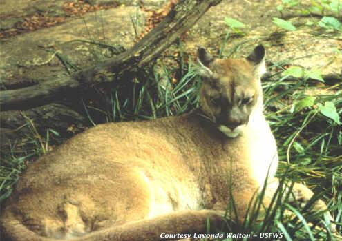 One of the last images of the Eastern Cougar