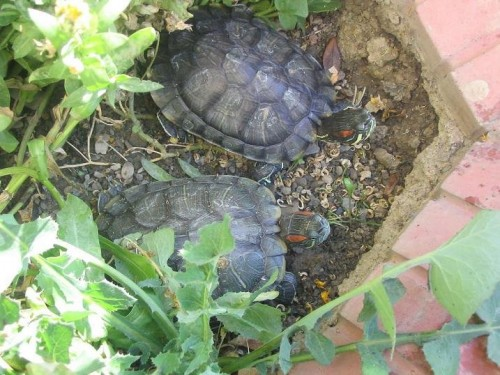 red eared slider e1300088837929 Top 10 Most Popular Pet Reptiles