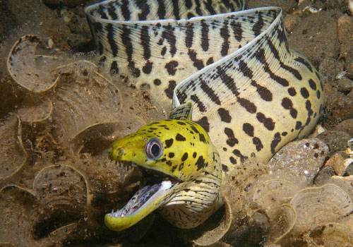 Fimbriated Moray Eel 22 Sea Creatures That Will Keep You Dry