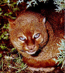 The Jaguarundi have very beautiful furs