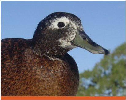 A Male Laysan Duck