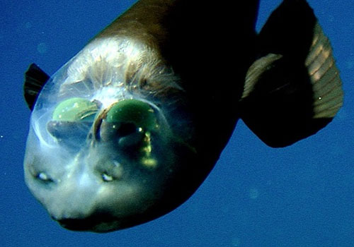 barreleye 22 Sea Creatures That Will Keep You Dry