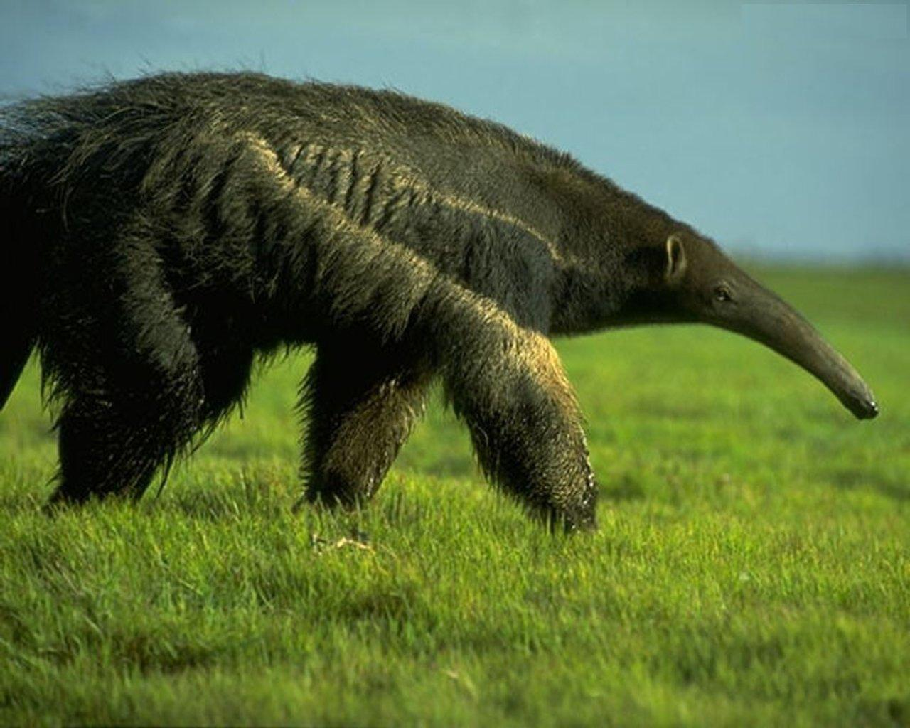 A Giant Anteater looking for food