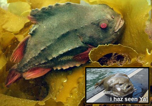 lumpfish 22 Sea Creatures That Will Keep You Dry