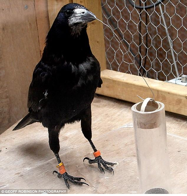 A Rook using tools to access water