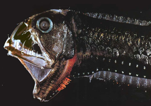 viperfish 22 Sea Creatures That Will Keep You Dry