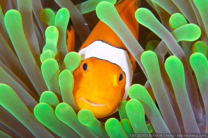 Clownfish hiding between the tentacles of an actinia