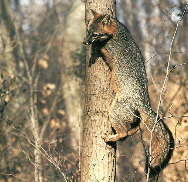 Gray Fox climbing up a tree