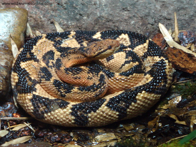 Bushmaster snakes have a great camouflage, making them extremely hard to notice