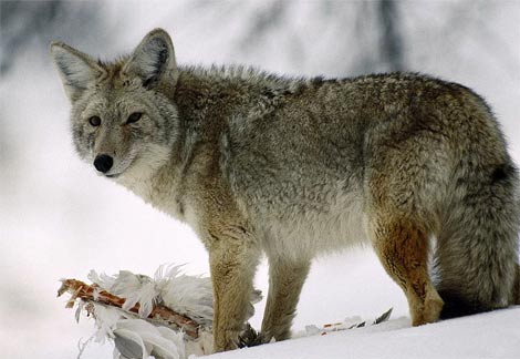 Coyotes can survive even in the arctic snowy regions
