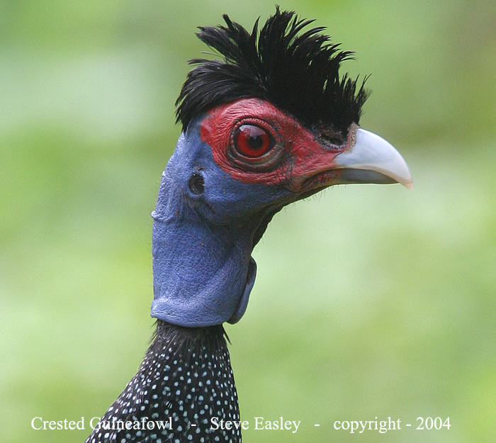 Crested Guineafowls are certainly not the most attractive birds