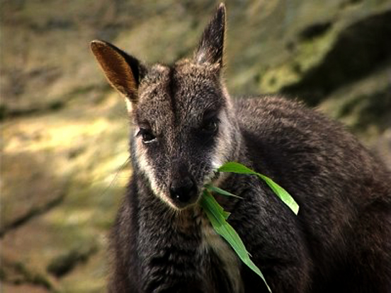 Brush-tailed Rock-wallabies rarely eat anything else than grass
