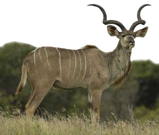 Greater Kudus are one of the largest and strongest antelopes, but they're still vulnerable to many predators