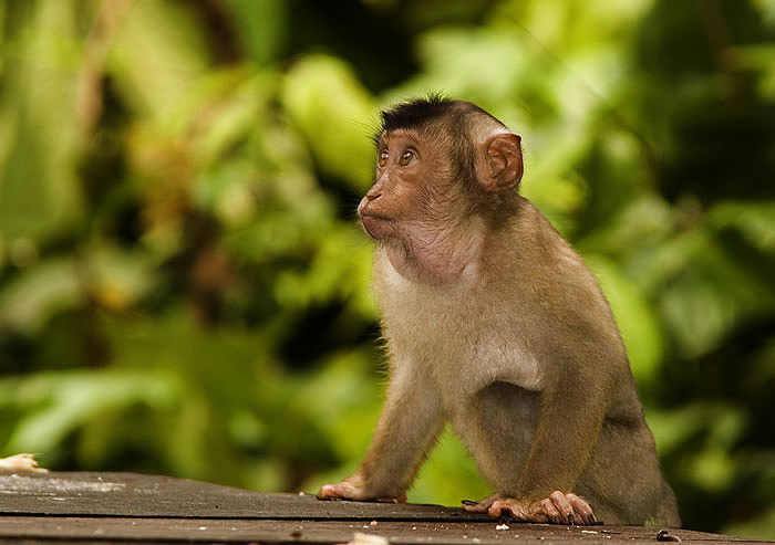 A Pigtail Macaque baby