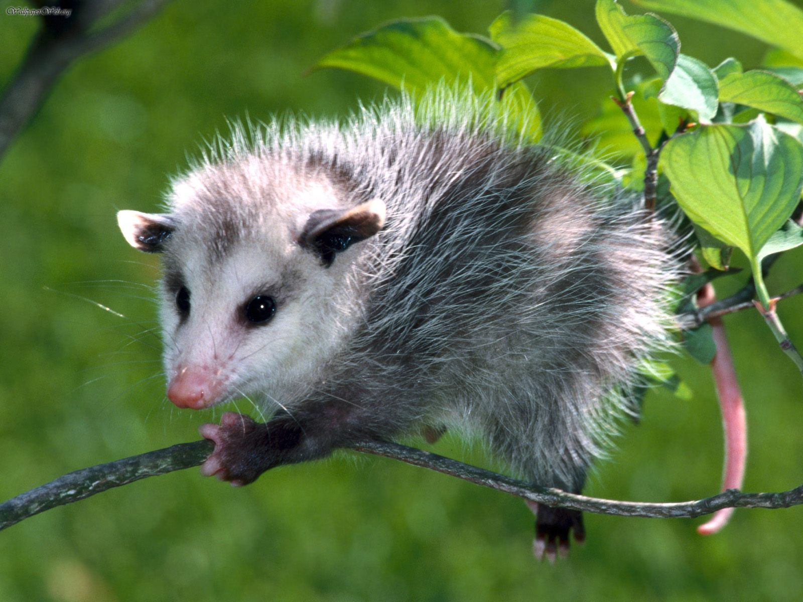 A young Virgina Opossum on a very small branch