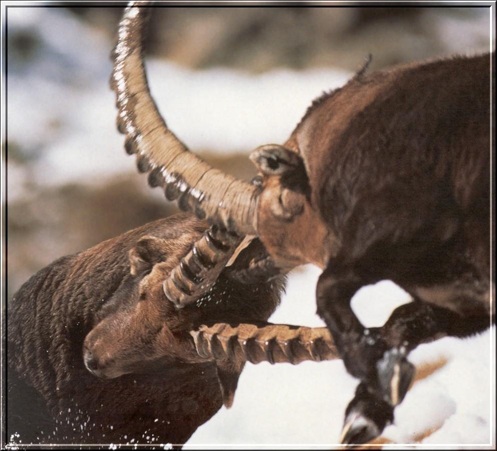 Although the horns are impressive, they are not used to inflict serious injuries on the rivals