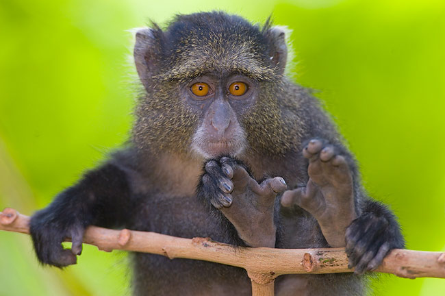 Young Blue Monkeys are so active that mothers have to be very attentive not to lose them