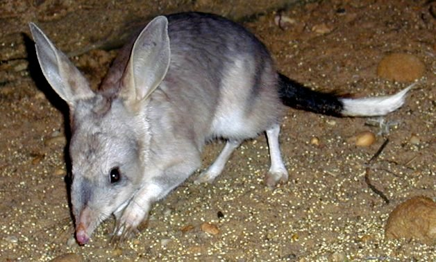 Bilby's large ears make their hearing extremely sensitive