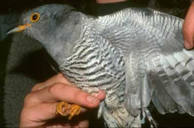 Common Cuckoo's belly is similar to sparrowhawk's
