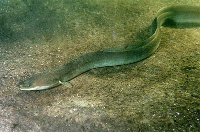 Despite the snake-like appearance, eels are actually fish