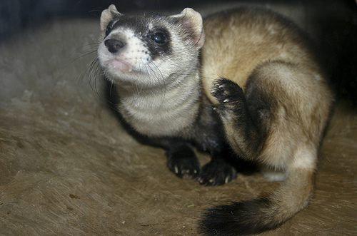 3321511004 a3e5d293ac Black footed ferret