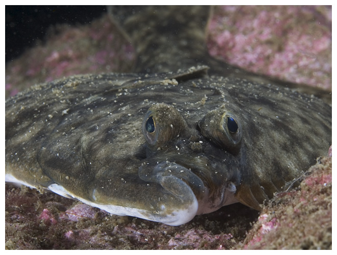 The Flounder's mouth indicates that this fish wasn't always flat
