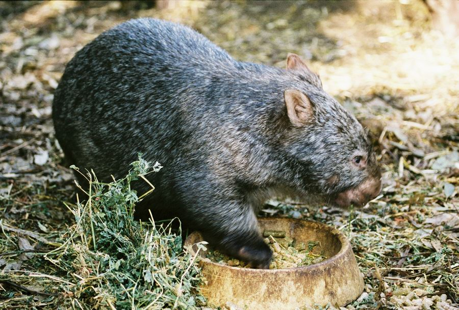 The first Europeans that saw the Wombat thought it was a small bear