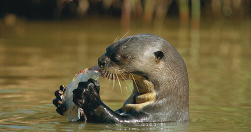 Giant Otter feeding on a fish