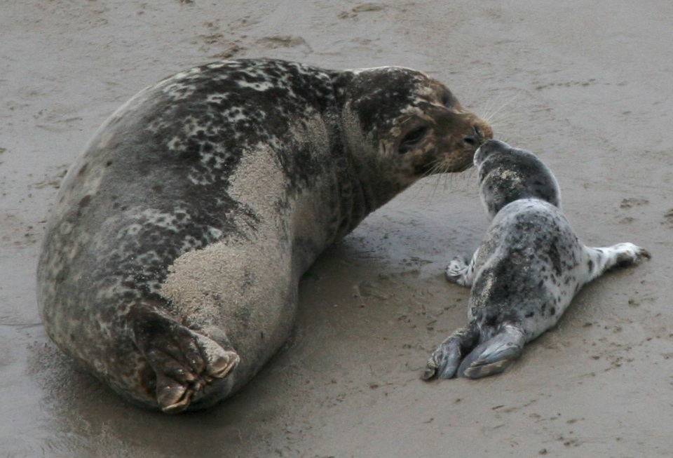 Harbor Seal pups don't have the soft, white fur other seal pups do