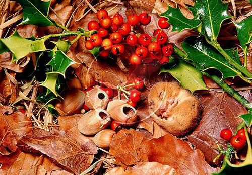 The area near the Dormouse's nest is often covered with hazelnut shells and berries