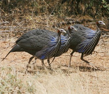 Vulturine Guineafowls searching for food