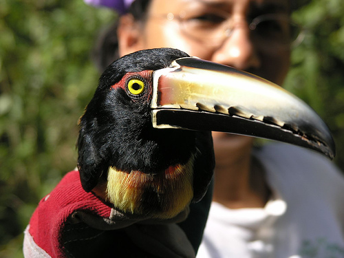This bird is famous for its red collar