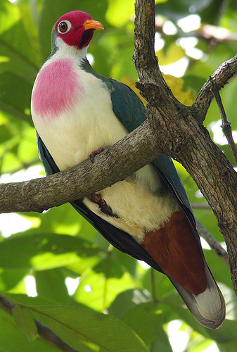 Jambu fruit doves are one of the most beautiful birds in the world