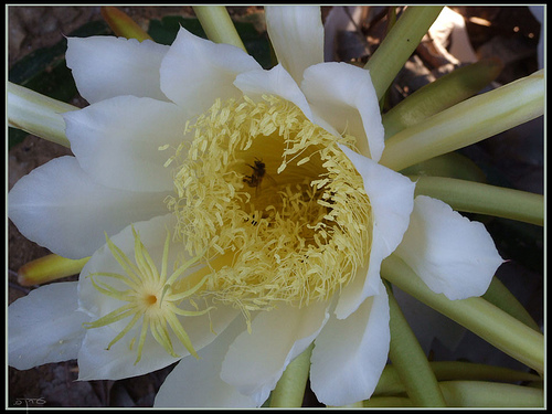 The pitaya flower