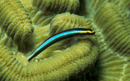 A Sharknose Goby on a Brain Coral