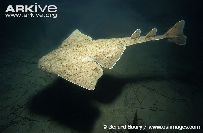 Pacific angel sharks can be occassionally seen off California